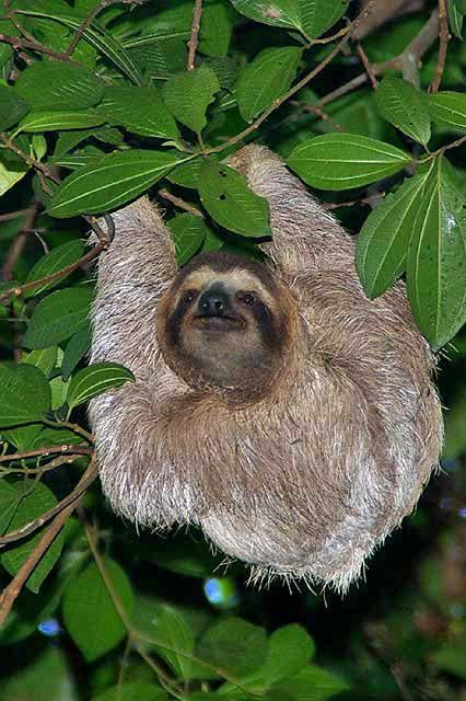 3 toed Sloth