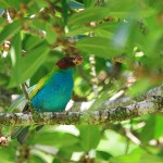 Bay-headed-Tanager