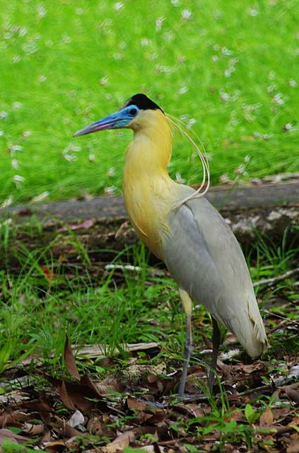 Capped-Heron