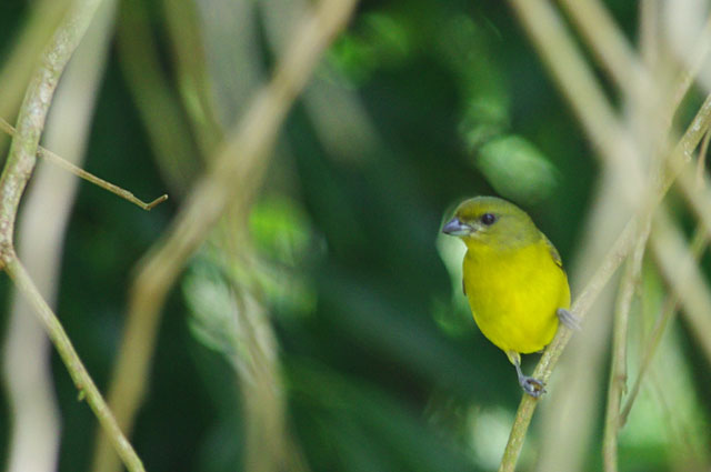 Yellow Crowned Euphonia - Female