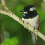black-breasted-puffbird