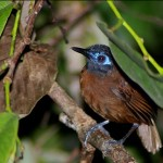 chestnut-backed-antbird