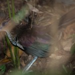 ground-cuckoo