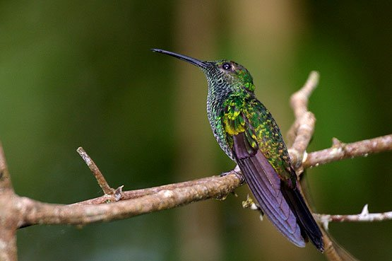 Blue Chested Hummingbird