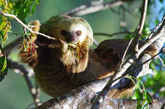 2 toed Sloth