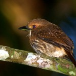 white-whiskered-puffbird